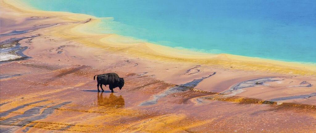 Bison walking near Grand Prismatic Spring, Yellowstone