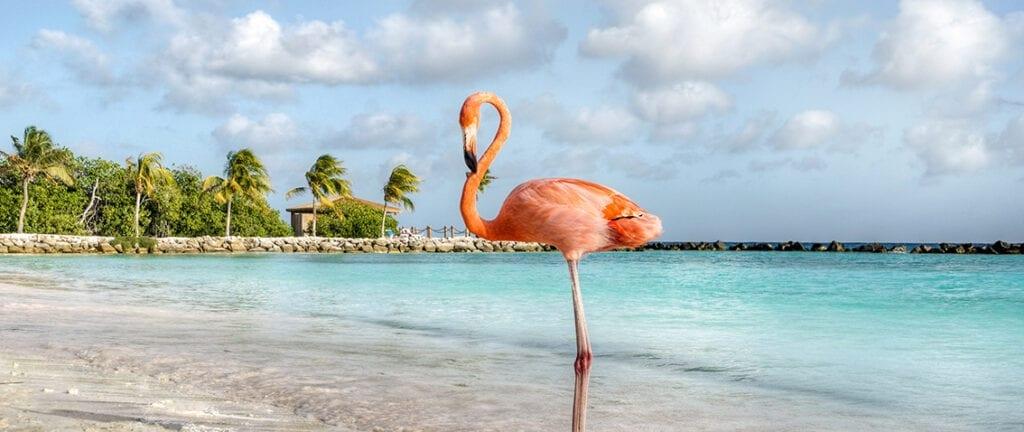 Flamingo on Aruba Island