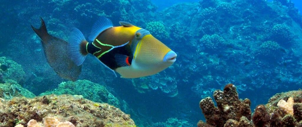 Picasso Triggerfish at Black Rock, Kaanapali, Maui